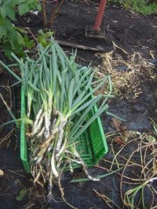 岩槻ネギ収穫20201103